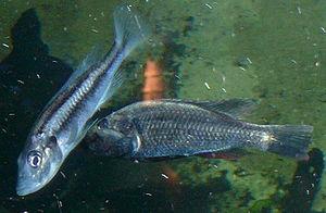 Haplochromis - Haplochromis thereuterion
