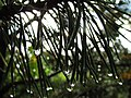 Heavy Fog on Pine Needles (10066866363).jpg