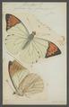 Hebomoia - Print - Iconographia Zoologica - Special Collections University of Amsterdam - UBAINV0274 052 07 0002.tif
