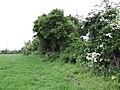 Hedgerow east of the R108 near Calliaghstown - geograph.org.uk - 451562.jpg