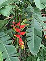 Heliconia rostrata 1.jpg