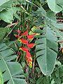 Heliconia rostrata 1.jpg