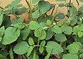 Heliotropium indicum 03.JPG