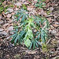Helleborus foetidus in Aveyron (1).jpg