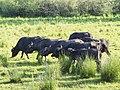 Herde von Wasserbüffeln im Tegeler Fließ, Berlin.jpg