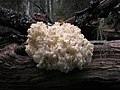 Hericium coralloides (7982734052).jpg