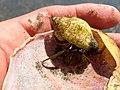 Hermit Crab (18438761929).jpg