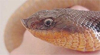 Heterodon - Eastern hog-nosed snake, H. platirhinos