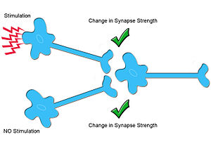Heterosynaptic plasticity - In heterosynaptic plasticity, synaptic pathways that are not specifically stimulated undergo changes (synaptic plasticity) in addition to those who are specifically stimulated.