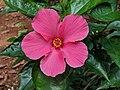 Hibiscus rosa-sinensis 20.jpg
