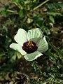 Hibiscus trionum sl75.jpg