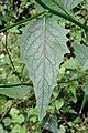 Hieracium laevigatum leaf (07).jpg