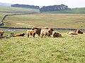 Highland cattle near Mastiles Lane - geograph.org.uk - 971885.jpg