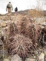 Hiking past hedgehog cactus (Echinocereus engelmanii); Cholla Wash.jpg