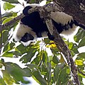 Hill's ruffed lemur (Varecia variegata editorum) male urinating.jpg