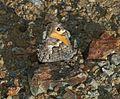 Hipparchia cypriensis (Cyprus Grayling) - Flickr - S. Rae.jpg
