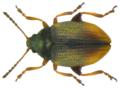 Hippuriphila modeeri (Linné, 1761) (6328501557).png