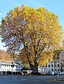 Hohenlimburg, Platane am Rathaus.JPG