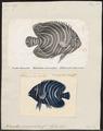 Holacanthus semicirculatus - 1700-1880 - Print - Iconographia Zoologica - Special Collections University of Amsterdam - UBA01 IZ13100243.tif