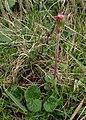 Homogyne alpina kz03.jpg