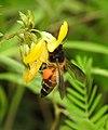 Honey Bee gathering pollen image by Dr. Raju Kasambe DSCN4801 (6).jpg