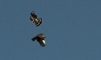 Hook-billed kite - Image: Hook billed Kites (6057667513)