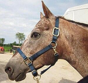 Horse tack - A nylon halter/headcollar