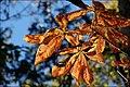 Horse chestnut leaves - geograph.org.uk - 567860.jpg