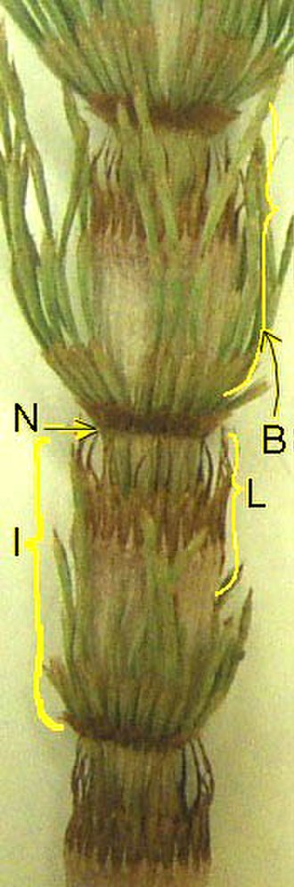 Equisetopsida - Vegetative stem: N = node, I = internode, B = branch in whorl, L = fused microphylls