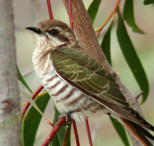 Ficheiro:Horsfield's Bronze-Cuckoo Capertee.JPG
