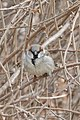 House Sparrow (Passer domesticus), Male - Kitchener, Ontario 01.jpg