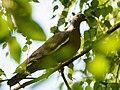 Houtduif - Wood pigeon (19565585908).jpg