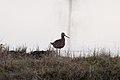 Hudsonian Godwit (7458246062).jpg