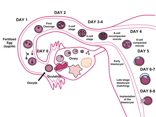 Fertilization in humans. The sperm and ovum unite through fertilization, creating a conceptus that (over the course of 8-9 days) will implant in the uterine wall, where it will reside over the course of 9 months. Human Fertilization.png