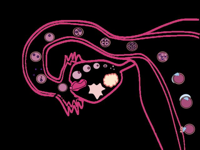 Dag fem efter befruktningen hos en människa bildas det en så kallad blastocyst. Den inre cellmassan i dessa är pluripotenta stamceller (ljusblåa).