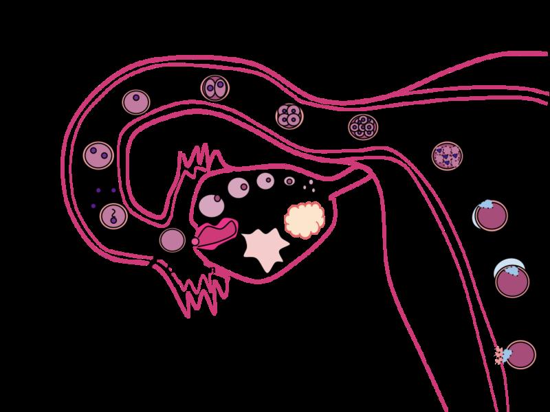 human egg fertilization blastocyst