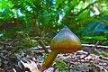 Humidicutis marginata var. olivacea group 639899.jpg