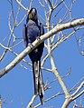 Hyacinth Macaw (Anodorhynchus hyacinthinus) - 48180157151.jpg