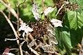 Hydrangea quercifolia 15zz.jpg