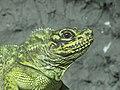 Hydrosaurus pustulatus Tropicario 2.JPG
