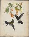 Hylocharis lugens - 1820-1860 - Print - Iconographia Zoologica - Special Collections University of Amsterdam - UBA01 IZ19100557.tif