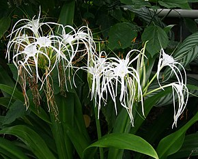 alt=Description de l'image Hymenocallis expansa.jpg.