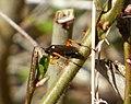 Ichneumon Wasp (33709042841).jpg
