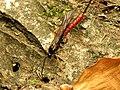 Ichneumon Wasp (34278540462).jpg