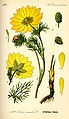 Illustration Adonis vernalis0.jpg