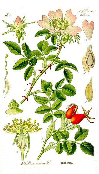 Rosa canina - A botanical illustration showing the various stages of growth by Otto Wilhelm Thomé