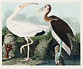 Illustration from Birds of America (1827) by John James Audubon, digitally enhanced by rawpixel-com 222.jpg