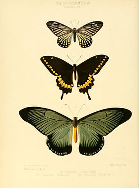 Illustrations of new species of exotic butterflies Papilio VI.jpg