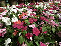 Impatiens hill balsum from lalbagh 2030.JPG