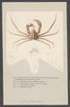 Inachus scorpio - - Print - Iconographia Zoologica - Special Collections University of Amsterdam - UBAINV0274 006 01 0073.tif
